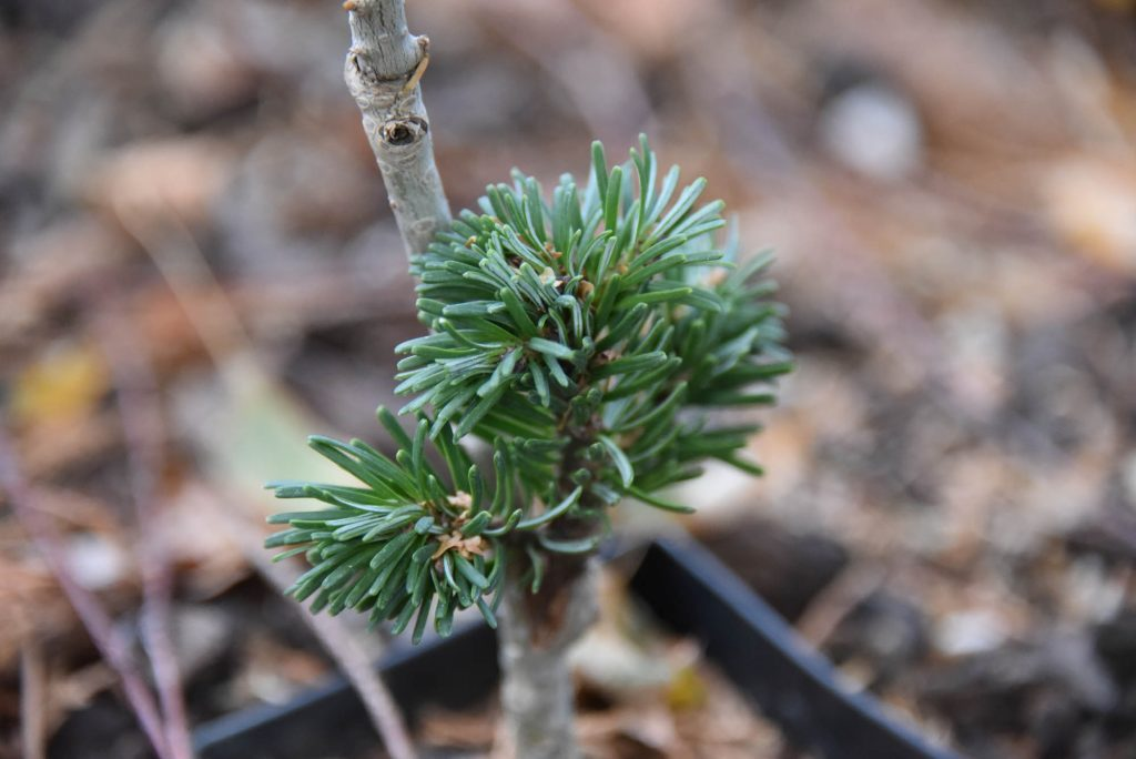 Abies amabilis 'Snoqualmie Pass' first summer, 2020