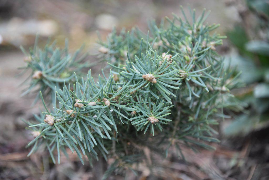 Abies concolor 'Tahoma' Summer 2020