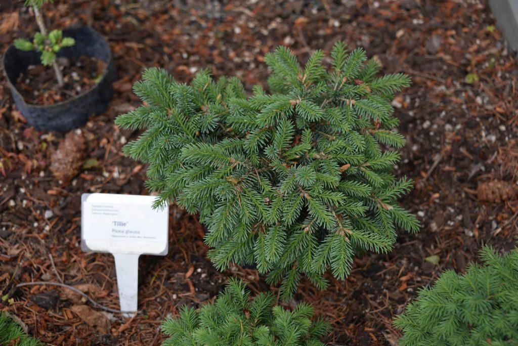 New White Spruce conifer cultivar 'Tillie'