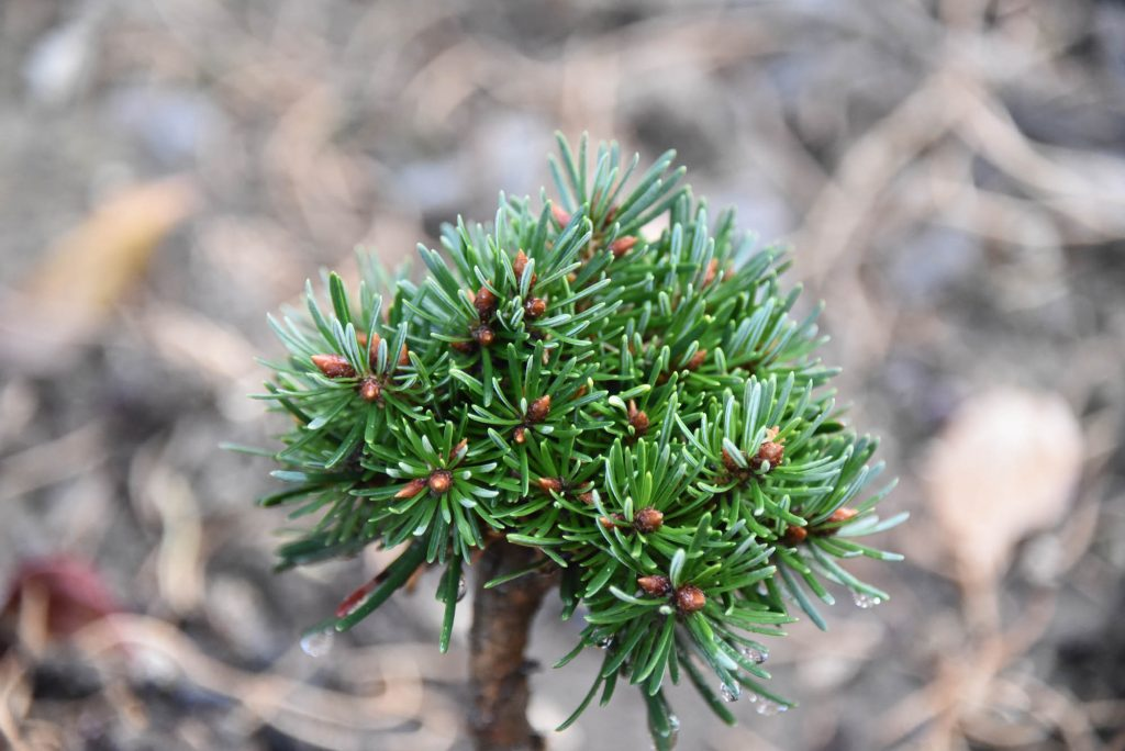 Pseudotsuga menziesii 'Tribble' new cultivar, 2 years old