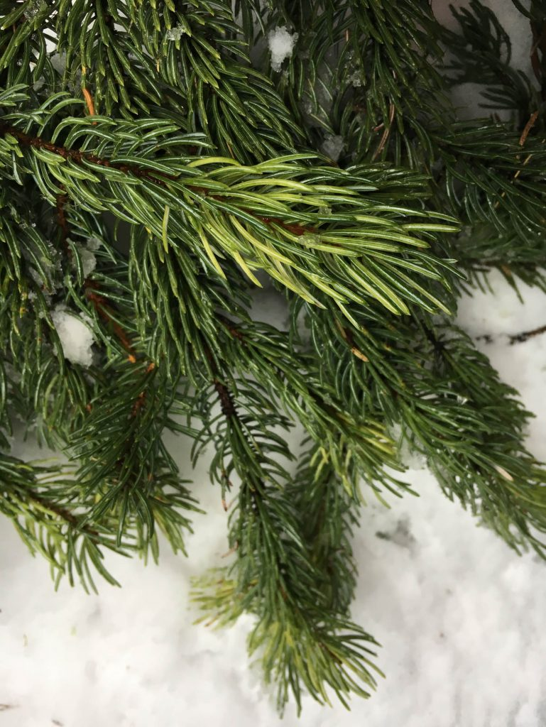 Newly harvested variegated branch of engelman spruce 'Whitewater'
