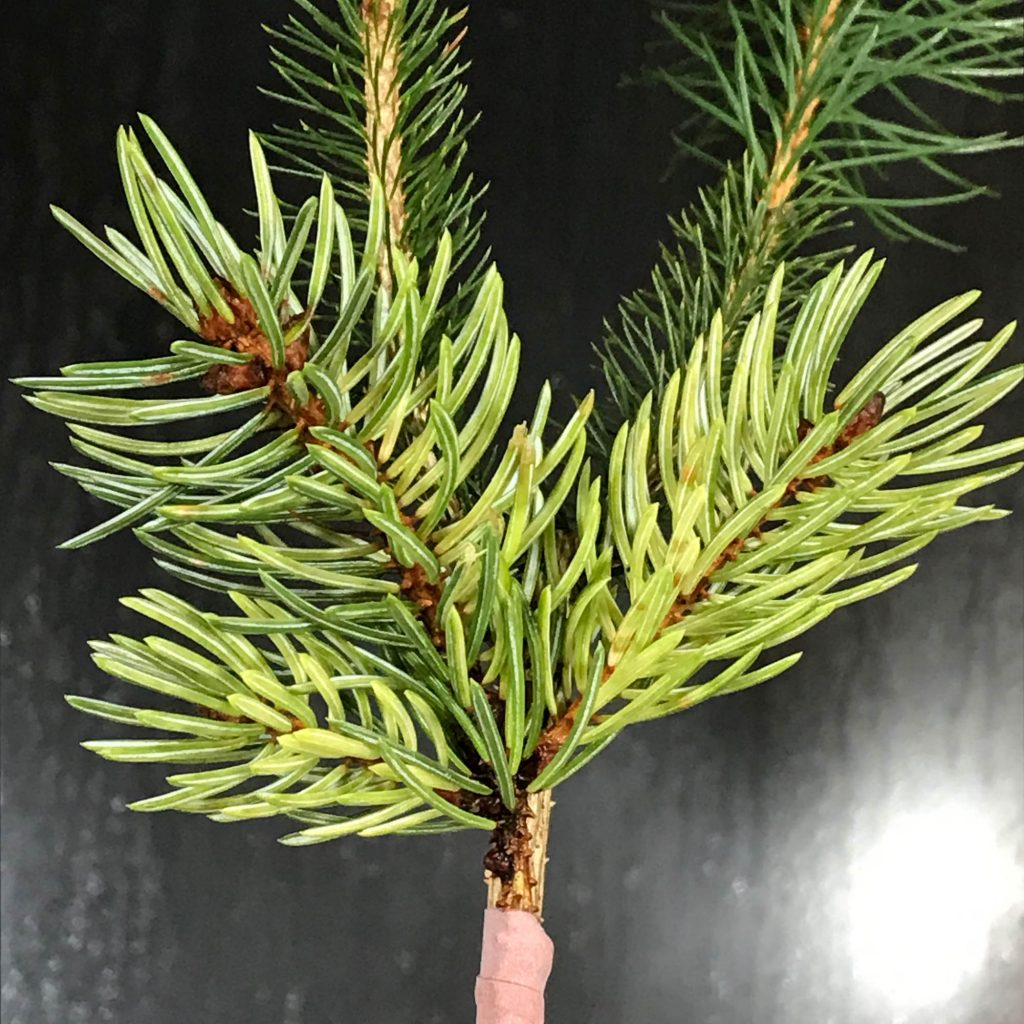 Newly grafted Picea engelmannii 'Whitewater'