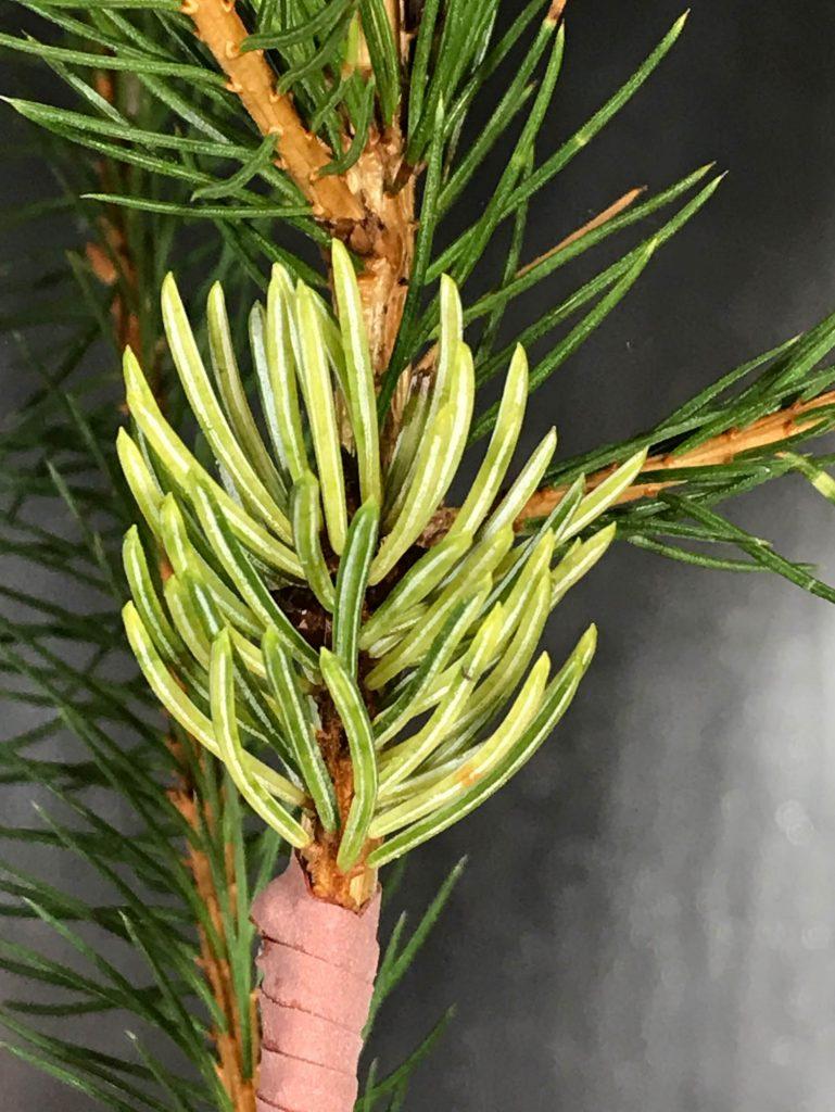 Picea engelmannii 'Whitewater' new cultivar