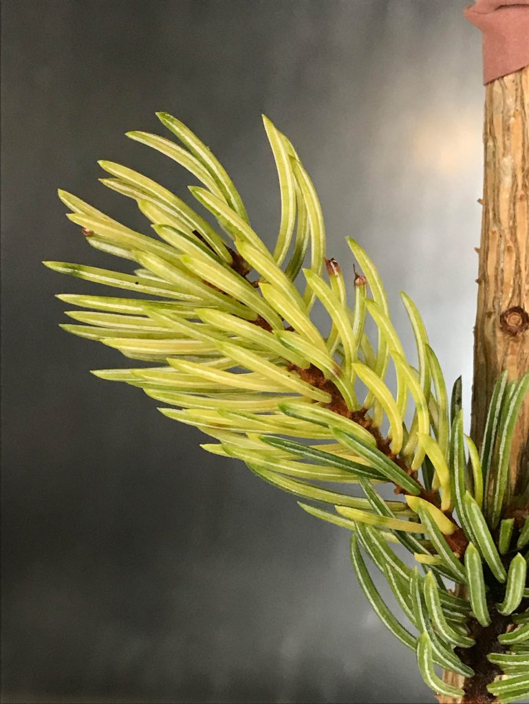 Variegated engelman spruce 'Whitewater' scion freshly grafted.