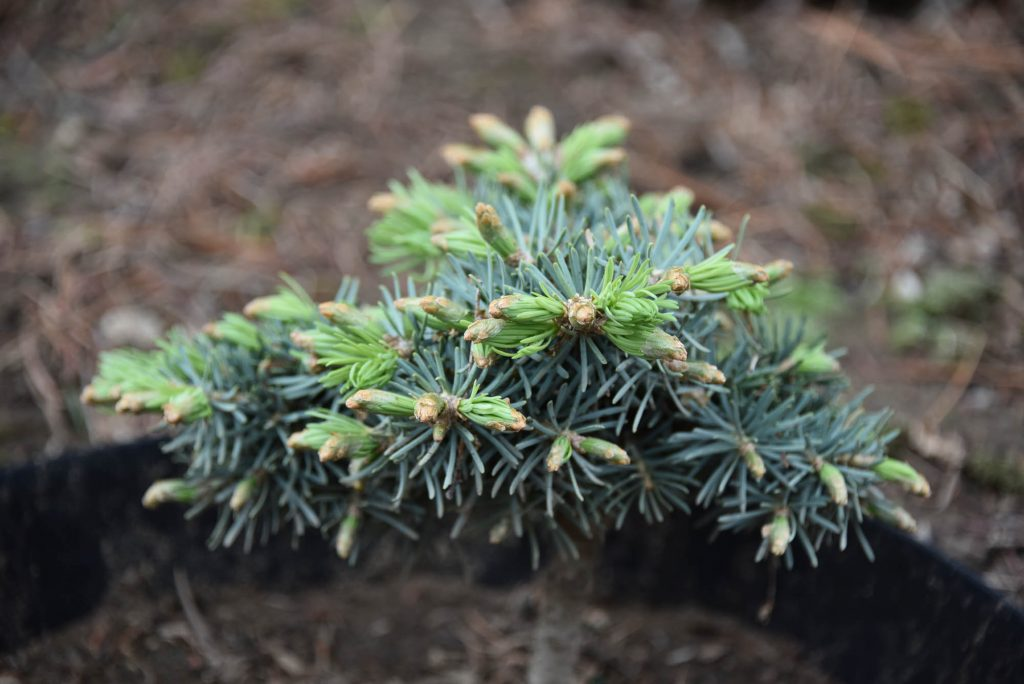 Abies concolor 'Wildcat' new cultivar with Spring push