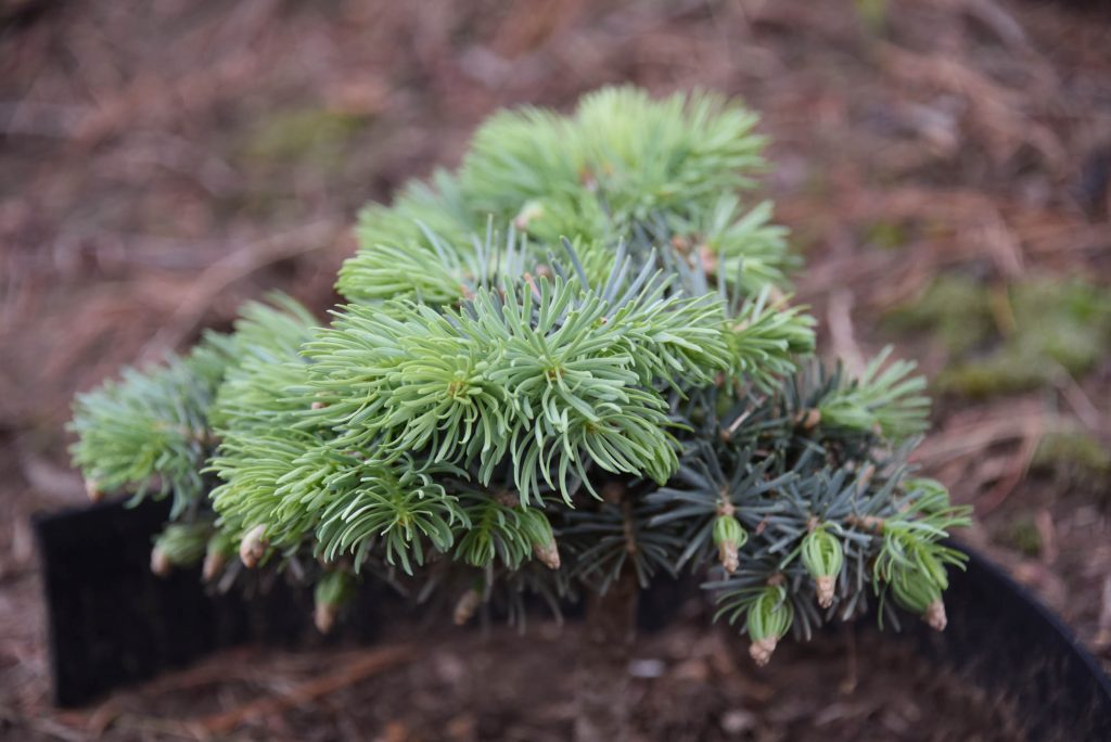 Abies concolor 'Wildcat' new cultivar with Spring growth