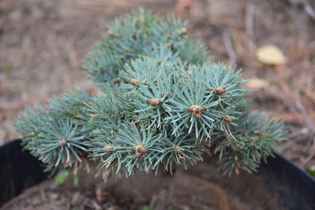 Abies concolor 'Wildcat' new cultivar fir broom with powder blue foliage and dark buds