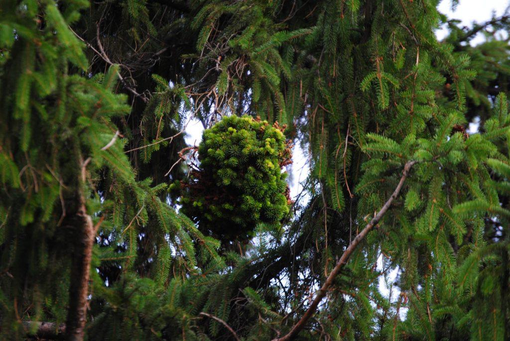 Norway spruce tree broom 'Froghair'