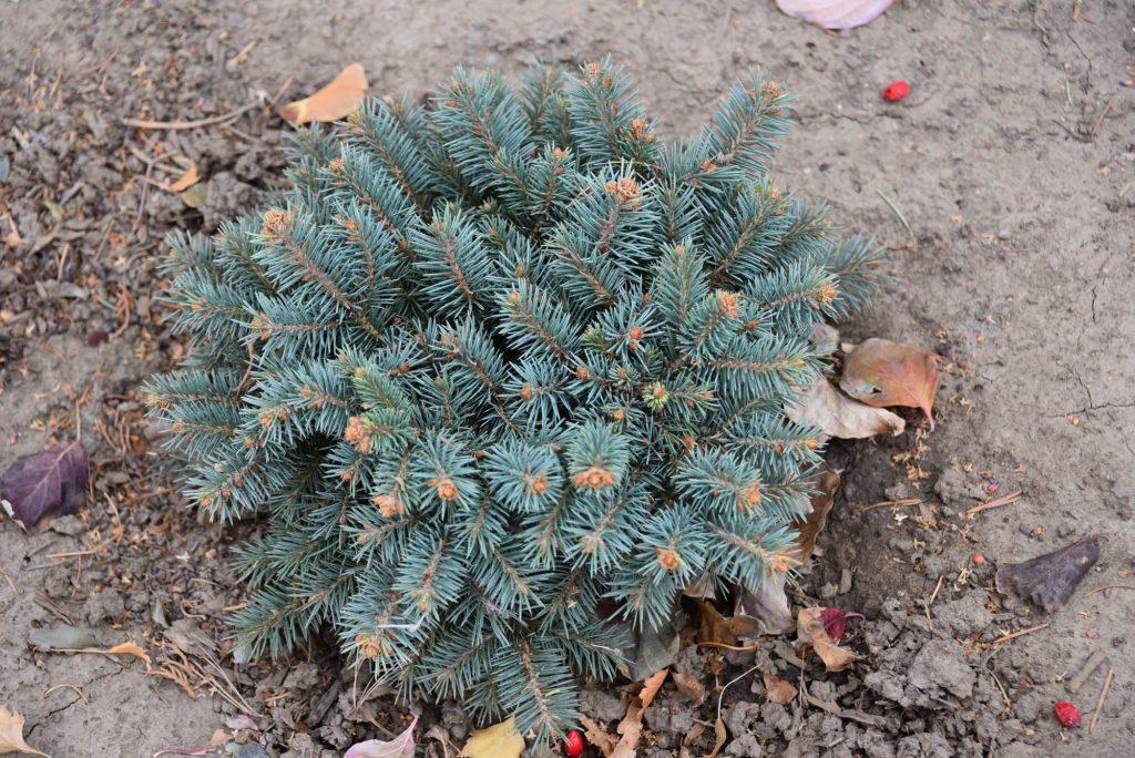 Picea engelmannii 'Big Sky' with 6 years growth