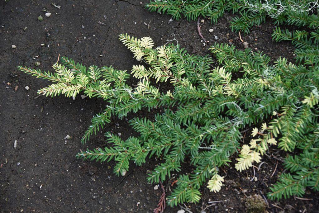 Tsuga heterophylla 'Cascade Confetti', harvested sport