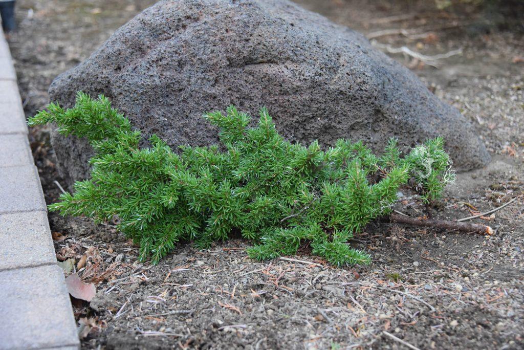 Tsuga heterophylla 'Ghidorah' broom cutting