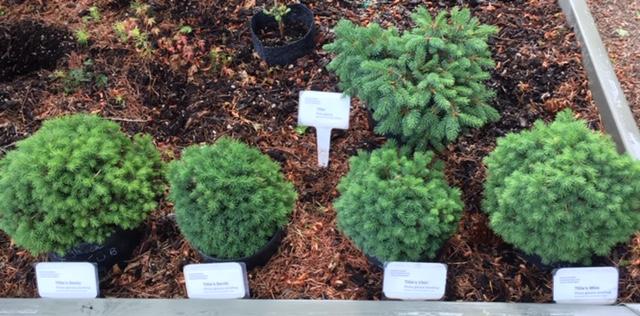 Picea glauca 'Tillie' seedlings!