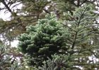 Abies-procera-B1-'Rhapsody-in-Blue'-1
