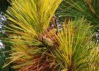 Pinus resinosa 'Packerland'